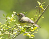 White Eyed Vireo - April 2012
