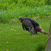 North America, USA, Minnesota, Mendota Heights, Wild Tom Turkey