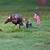 North America, USA, Minnesota, Mendota Heights, Acacia Cemetary, Wild Tom Turkey
