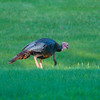 North America, USA, Minnesota, Mendota Heights, Wild Turkey, poults