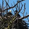 2013 Bald Eagles 142