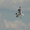 2013 Franklin's Gull 739