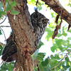 2013 Great Horned Owl 278