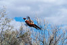 A rooster pheasant being released to help supplement the number of wild birds on public lands in the Basin. Photo by Ron Stewart, Utah Division of Wildlife Resources.