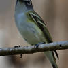 Blue Headed Vireo (b2611)