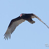 turkey vulture: Cathartes aura