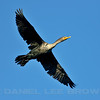 Double-crested Cormorant, American River Parkway, Sailor Bar, Sacramento Co, CA, 12-11-13. Cropped image.