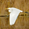 Great Egret, American River Parkway, Sailor Bar, Sacramento Co, CA, 12-11-13. Cropped image.