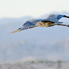 Great Blue Heron, Salton Sea, Riverside County, CA, 4-23-14. Cropped image.