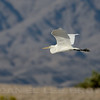 Great Egret, Riverside County, CA, 4-24-14. Cropped image.