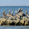Brown Pelicans, South Salton Sea, Imperial County CA, 4-25-14. Cropped image.