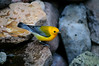 Prothonotary Warbler 0573
