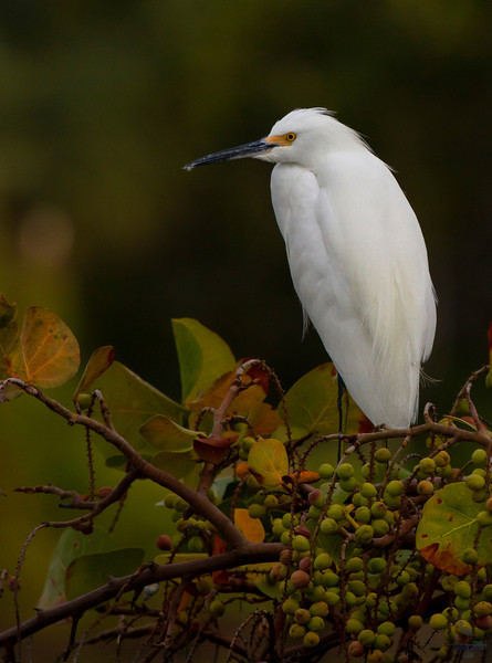 "Snowy Egret, perched on a branch with berries ""Egretta thula"""