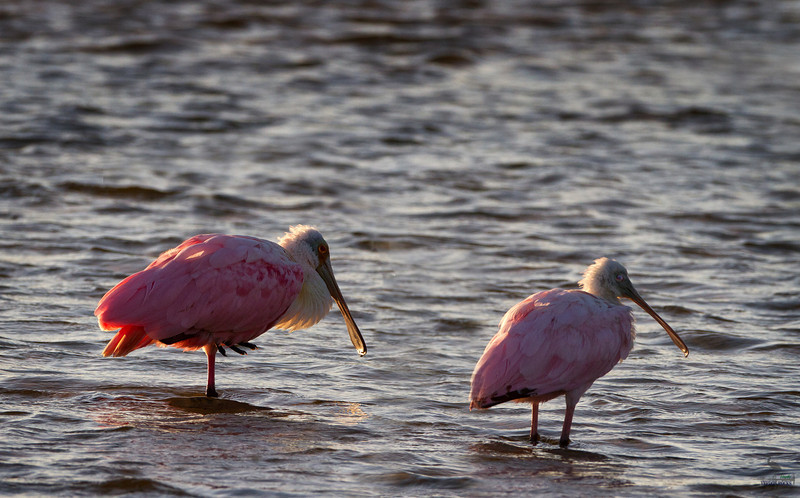 "Roseate Spoonbill couple, fishing ""Platalea ajaja"""