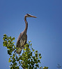 "I am standing on the tree,,,,,, and I feel gooooooooood!<br /> Great Blue Heron, Colorado<br /> ""Ardea herodias"""