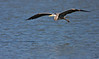 "Great Blue Heron, in flight over water, Colorado<br /> ""Ardea herodias"""