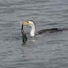 Pied Cormorant with a Snowflake Moray Eel.