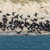 Little Black Cormorants (Phalacrocorax sulcirostris)