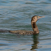 Little Black Cormorant (Phalacrocorax sulcirostris).