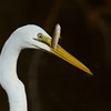 Eastern Great Egret, Schusters Park, Tallebudgera Creek, Queensland.