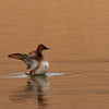 Canvasback (2)