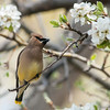 Cedar Waxwing in Pear blossoms on old farmstead.