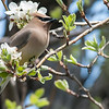 Cedar Waxwing in Pear blossoms on old farmstead. A small flock was eating the blossom petals.