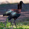CAPTION: White-faced Ibis LOCATION: Dead Horse Ranch State Park, Cottonwood, Arizona DATE: 6-23-13 NOTES: HEADING
