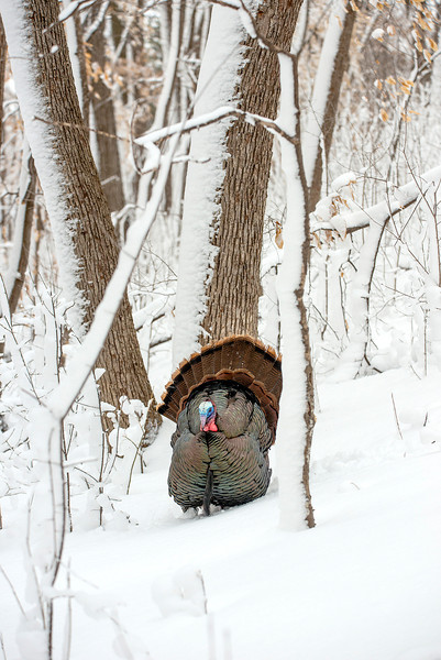 AWT-13-141: Eastern Wild Turkey