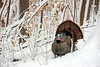 AWT-13-133: Gobbler in spring snow storm