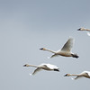 Tundra Swans were everywhere!! Weather started out OK…but then deteriorated over a couple days…by noon it was raining quite steady…better than what was to come!?
