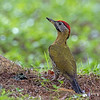 Laced Woodpecker (Male)
