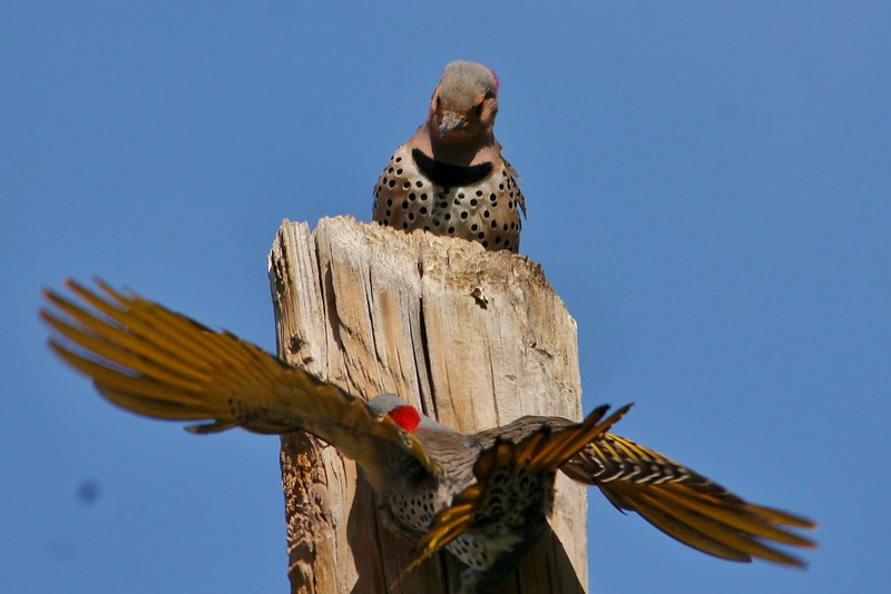 Northern Flicker (Yellow-shafted) (36)