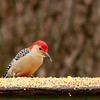 Red-bellied Woodpecker (4) - Copy