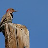 Northern Flicker (Yellow-shafted) (29)