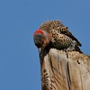 Northern Flicker (Yellow-shafted) (34)