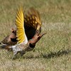 Northern Flicker (Yellow-shafted) (23)
