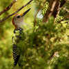 Golden-fronted Woodpecker (7)