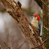 Red-bellied Woodpecker (9)