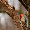 Red-bellied Woodpecker (5) - Copy