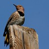 Northern Flicker (Yellow-shafted) (31)