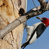 Red-headed Woodpecker (84)