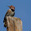 Northern Flicker (Yellow-shafted) (30)
