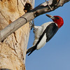 Red-headed Woodpecker (83)