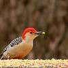 Red-bellied Woodpecker (3) - Copy