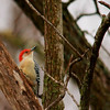 Red-bellied Woodpecker (10)