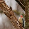 Red-bellied Woodpecker (7)