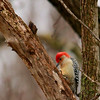 Red-bellied Woodpecker (6)