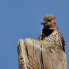 Northern Flicker (Yellow-shafted) (32)