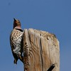 Northern Flicker (Yellow-shafted) (26)